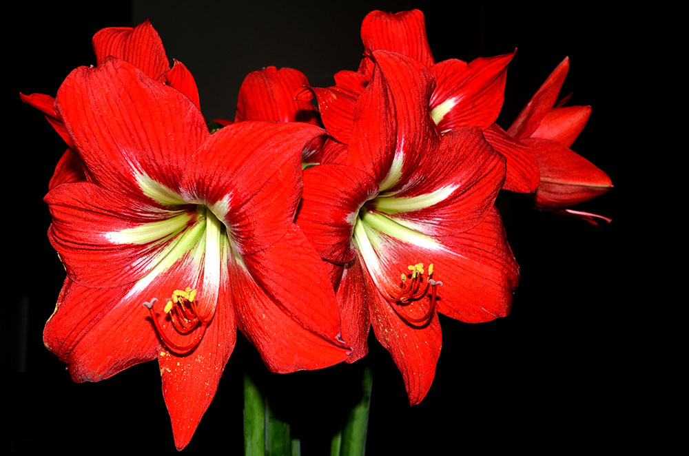 lilies  only photographs, Natural flower