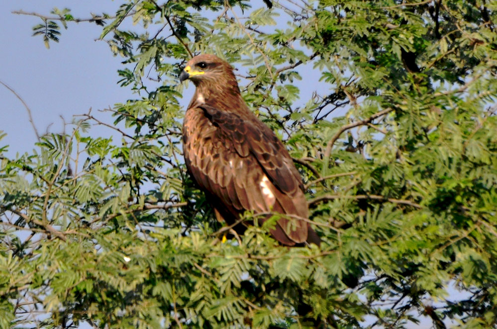 Indian kite bird - photo#27