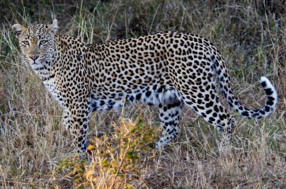 Leopard4146m